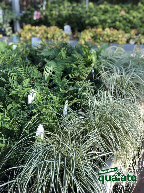 Piante Siepe Crescita Rapida 5 bellissime piante perenni ricadenti - floricoltura quaiato