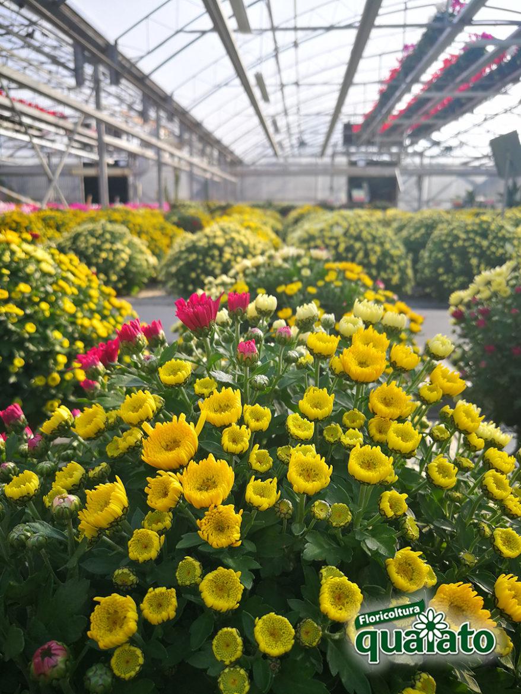 coltivazione crisantemi