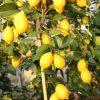piante limoni e altri agrumi